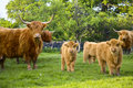 Highland Cattle Royalty Free Stock Photography - 6108717