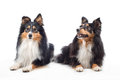 Two Shetland Sheepdogs Laying Royalty Free Stock Photos - 61027268