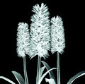 X-ray Image Of A Flower Isolated On Black , The Hyacinth Stock Photography - 61030212
