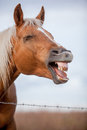 Laughing Horse Profile Stock Photography - 61053162