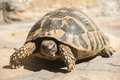 Hermann S Tortoise Stock Images - 61079564