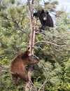 American Black Bear Cubs Stock Images - 61099724