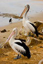 Two Pelicans Royalty Free Stock Images - 6113099
