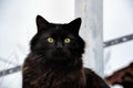Portrait Of A Beautiful Black Chantilly Tiffany Cat At Home Stock Images - 61130804