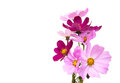 Cosmos Flowers Royalty Free Stock Photography - 61138607