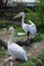 Two Pink Pelicans At The Zoo. Royalty Free Stock Image - 61209316