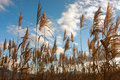 Golden Reed Field Stock Images - 61220624