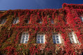 Red Ivy On A Building Royalty Free Stock Photo - 61224545