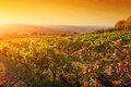 Vineyard In Tuscany, Ripe Grapes At Sunset Stock Photography - 61296512