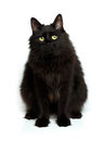 Cute Fluffy Black Cat Isolated On White Stock Image - 61302391