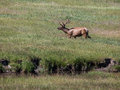 Elk In Yellowstone National Park Stock Photos - 61322563
