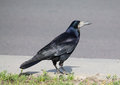 Rook On A Pavement Royalty Free Stock Images - 61354699