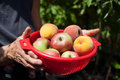 Apples And Peaches In A Bowl Stock Images - 61401154