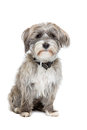 Grey And White Mixed Breed Dog Royalty Free Stock Photography - 61403697
