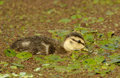 Mottled Duck, Duckling Swimming Royalty Free Stock Image - 61410796