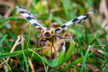Abraxas Grossulariata Butterfly Flying Over Grass Stock Photos - 61421703