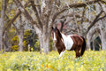 Paint Horse Grazing In Pecan Grove Royalty Free Stock Photography - 61430987
