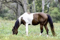 Paint Horse Grazing In Pecan Grove Royalty Free Stock Images - 61431099