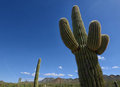 Close Up Of Saguaro Cactus In Arizona Desert Stock Photography - 61435432