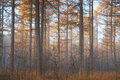 Larch Tree Forest In Autumn Stock Photos - 61461053