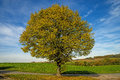 Lime-tree In Autumn Stock Photography - 61462302
