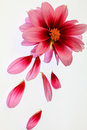 Pink Dahlia Stock Images - 61478824