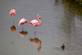 Three Greater Flamingo Standing In The Water With Duck Stock Image - 61493651
