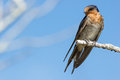 Perched Welcome Swallow (Hirundo Neoxena) Stock Images - 61497394