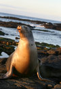 Sea Lion Royalty Free Stock Image - 6152356
