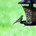 Female House Finch On Feeder Royalty Free Stock Photo - 6155845