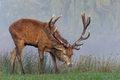Red Deer Stag Royalty Free Stock Photo - 61515295
