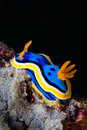 Yellow, Blue, White, Purple And Black Nudibranch. Underwater Pho Royalty Free Stock Photos - 61592298