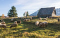 Flock Of Sheep Grazing Royalty Free Stock Photography - 61596597