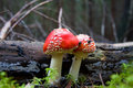Fly Agaric Stock Photo - 6164390