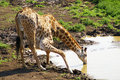 Young Giraffe Drinking Water Stock Images - 6165104