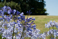 Agapanthus (blue Flowers) Stock Photography - 6167662