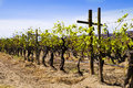 Grape Vines, Vineyard, Baja, Mexico Stock Images - 61601764