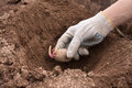 Gloved Hand Planting Potato Tuber Into The Ground Royalty Free Stock Photography - 61653797