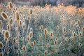 Dry Thistle Field At Fall Sunset Royalty Free Stock Images - 61655199