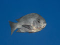 Black Snapper Fish In Water Of Tropical Sea (Macolor Niger),  In Royalty Free Stock Images - 61659429