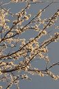 Spring Cherry Blossom Tree On A Sunny  Day With A Sepia Filter Royalty Free Stock Image - 61682486