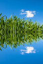 Green Wheat Field With Water Ripples Stock Photography - 6173582