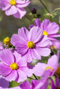Beautiful Pink Cosmos Flowers Outdoor Stock Images - 61711624