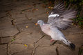 Pigeon About To Fly Royalty Free Stock Images - 61722519
