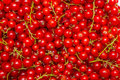 The Background Made Of Red Currant Berries Royalty Free Stock Images - 61733359