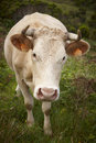 Registered Cow On The Countryside In Flores Island. Azores, Port Stock Images - 61735804