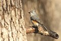 Tufted Titmouse Bird On Branch Royalty Free Stock Images - 61777789