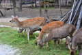 Spotted Deer Royalty Free Stock Image - 61787016