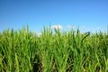 Lush Green Paddy In Rice Field. Spring And Autumn Background Stock Photo - 61793430
