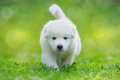 White Puppy Of Mix Breed In One And A Half Months Old Royalty Free Stock Photo - 61820255